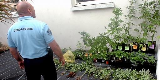 Gendarme drogue plant de cannabis saisi france trafic